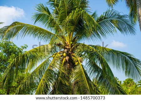background image of coconut green palm tree on blue sky #1485700373