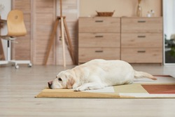 Background image of white Labrador dog lying on carpet in minimal home interior with wooden elements, copy space
