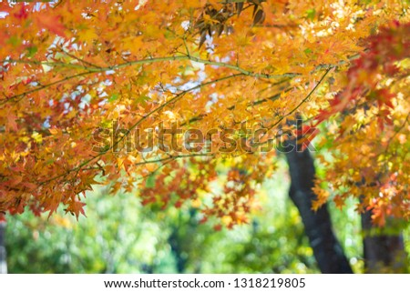 background leaf , tree in Autumn season at Japan - Image