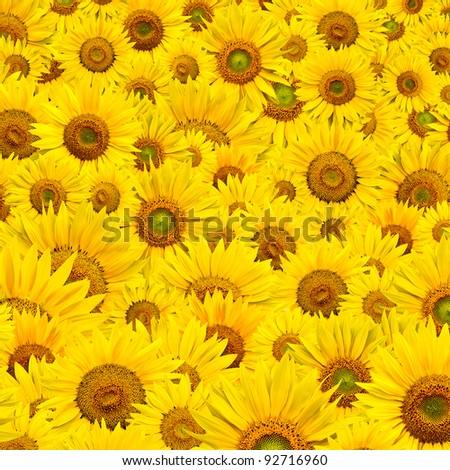 background made of beautiful yellow sunflowers #92716960