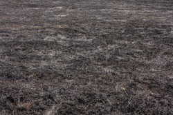 Background of a burned grass from a field. Burned grass texture. Black grass.
