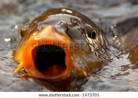 Background of a fish ready to take a bite out of the camera - stock photo