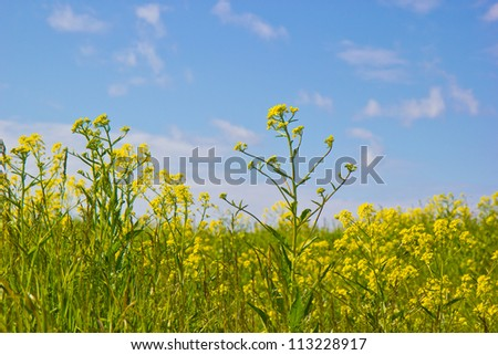 Background of a green grass and yellow flowers against the blue sky.