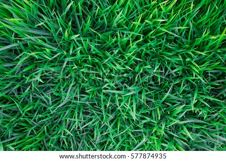 Background of a green grass. Green grass texture Green grass texture from a field #577874935