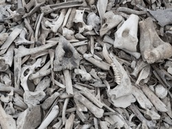 Background of a pile of animal bones closeup