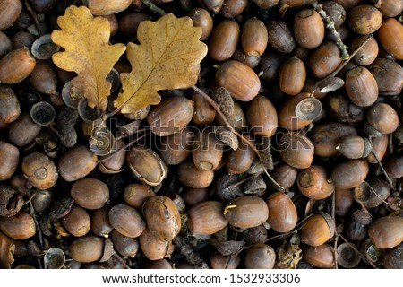 Background of acorn seeds from Oak tree on forest floor with yellow oak leaves fairy cups and twigs. Acorns sprouting splitting and decomposing #1532933306
