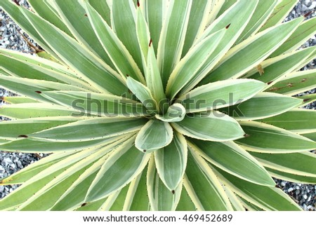 Background of Agave in the garden.