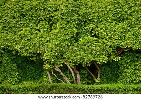 Background of beautiful green foliage. - stock photo