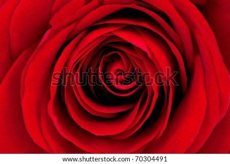 Background of beautiful red rose in closeup