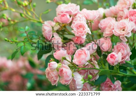 Background of bouquet of pink blooming rose bush