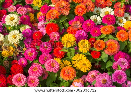 background of bright multi-colored roses