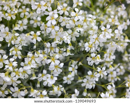 Background of bushes of white flowers in spring close up ez canvas background of bushes of white flowers in spring close up mightylinksfo