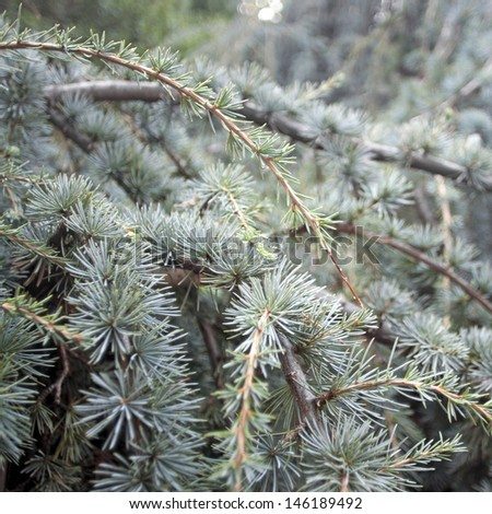 Background of Cedrus libani (cedar of Lebanon) branches