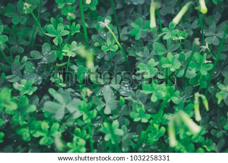 background of clover leaves with drops of dew. St.Patrick 's Day.