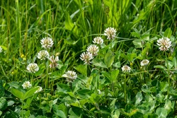 Background of clover or trefoil (Trifolium) pink flowers and green leaves in a sunny spring day, beautiful monochrome outdoor floral background