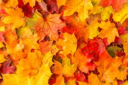 Background of colored wet autumnal maple leaves in a morning