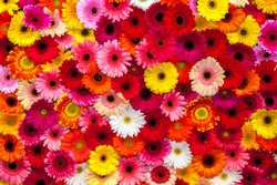 Background of colorful gerbera flowers, carpet of flowers