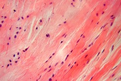 background of dense connective tissue in microscope