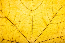 Background of dry autumn maple leaf closeup