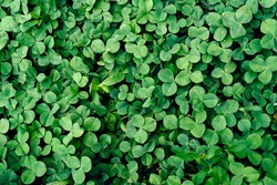 Background of fresh green leaves. Green leaves background. Green background with leaves. Flat lay, free space. Nature background