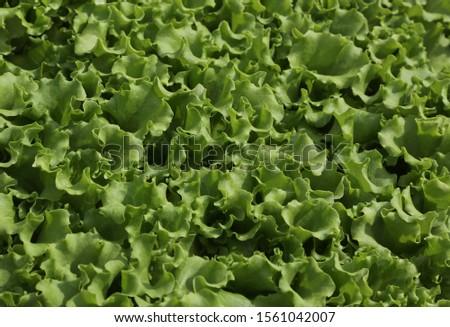 background of fresh green lettuce leaves freshly picked from the garden #1561042007