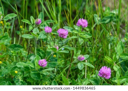 Background of fresh pink flowers and green leaves of clover or trefoil in a spring garden, close up