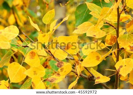 background of golden autumn aspen leaves