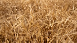 background of golden dried ripe wheat. ears of corn.