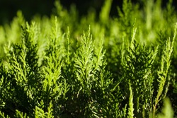 Background of green cypress foliage. Sprigs of cypress close-up. Green branches of cypress and black background. A close up of cypress foliage.