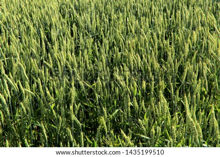 Background of green ears of wheat. Horizontal, free space, cropped shot, top view. Concept of nature and agriculture.