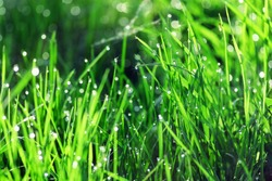background of green fresh grass with dew in the morning