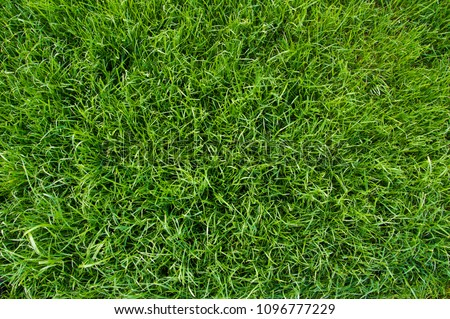 Background of green grass. Green grass texture top view closeup. Fresh lawn.
