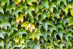 Background of green ivy leaves. Ivy background. Leaves of ivy covering the wall