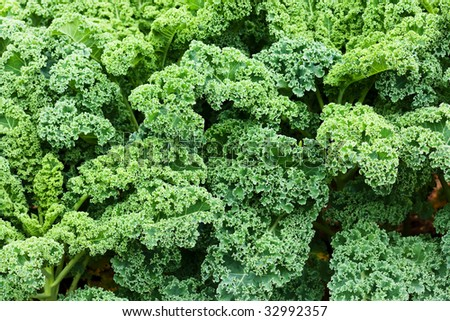 background of green leafy kale in the garden