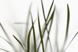Background of lush verdant home plant with long green stems blurred on white background
