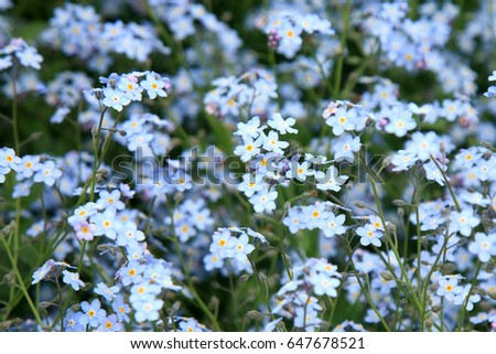 Background of many blue flowers forget-me-not