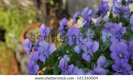 Free many of small purple and white flowers blooming in flower background of many small blue violet purple pansy flowers with green leaves and yellow spot center mightylinksfo Image collections