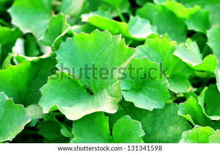 Background of Medicinal thankuni leaves of Indian subcontinent