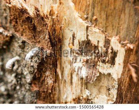 background of nest termite,background damaged white wooden eaten by termite or white ant #1500165428
