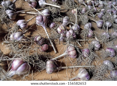 Background of numerous garlic bulbs