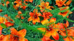 Background of orange lilies. Green branches without focus from the top of the Lily. Tiger lily. Green and orange flower arrangement of flowers and branches for designers.