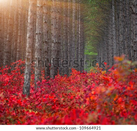 Background of pine forest with red bushes of the sumac