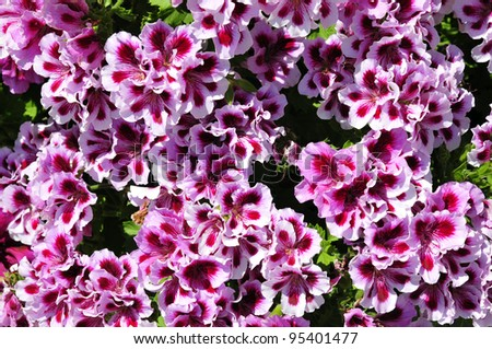 Background of pink and red geranium flowers