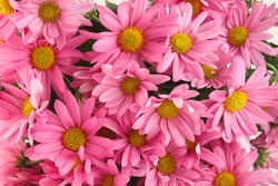 Background of pink daisy flowers, a sign of spring