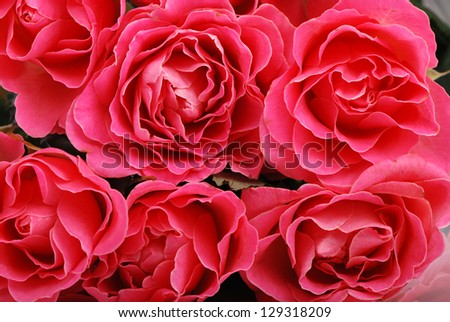 Background of pink roses/Beautiful roses