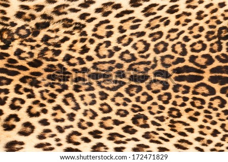 background of real leopard skin #172471829
