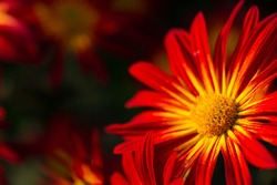 Background of red chrysanthemum flowers in soft focus. Beautiful bright chrysanthemums bloom in the autumn garden. Blurred background with copy space. Yellow core and scarlet petals close-up.