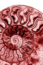 background of red petrified extinct fossil shell animal Ammonite Nautilus marine mollusc chamber cut in spiral shape, symbol of family happiness, wealth and eternity isolated on white