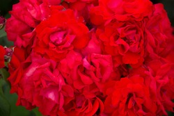 Background of red roses. Bushy red roses.