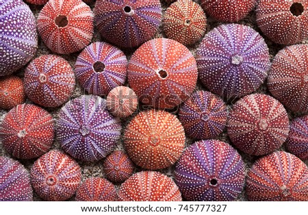Background of red sea urchin tests, picked at Norwegian coast. Flat lay, daylight. Stockfoto ©